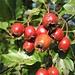 Weißdorn-Früchte