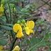 Blüten der Strauchwicke. Hippocrepis emururs