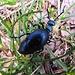 dicker blauer Käfer