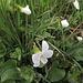 Weisses Veilchen. Viola alba