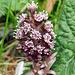 Die Blüten der Gemeinen Pestwurz aus der Nähe