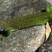 Obwohl grün, kein Krokodil...