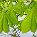 Frisch entrolle Kastanienblätter