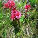 Blumen entlang dem Oberaarsee II