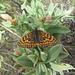 Auf dem Aufstieg traf ich viele Schmetterlinge an, wie diesen Scheckenfalter (Melitaea deione)
