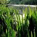 Ufer-Impressionen mit Schwertlilien!