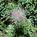 <b>Anemone alpino (Pulsatilla alpina).</b>