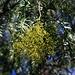 """Blütenknospen von einem Peruanische Pfefferbaum (Schinus molle) am Flughafen von Λάρνακα (Lárnaka).<br /><br />Der immergrüne Baum stammt aus Amerika wo er zwischen Mexiko und Chile überall heimisch ist. Die leicht nach Pfeffer schmeckenden Früchte sind essbar und werden als """"Rosa Pfeffer"""" bezeichnet. Im Mittelmeerraum ist die kälteempfindliche Pflanze oft als Alleebaum verbreitet."""
