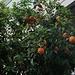 Unterwegs in Λευκωσία (Lefkosía; 149m):<br /><br />Hier wachsen stellenweise Orangen (Citrus sinensis) als Strassenbäume mitten in der Altstadt.<br />