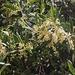 Blühender Olivenbaum (Olea europaea).