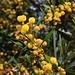 Blaublättrige Akazie (Acacia cyanophylla). Der kleine Baum stammt aus Australien, er kommt jedoch auf Zypern oft verwildert vor.