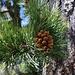 Der vorherrschende Baum in den höheren Lagen des Gebirges Τρόοδος (Tróodos) ist eine Unterart der Schwarzkiefer (Pinus nigra ssp. pallasiana).