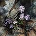 Unterwegs im wunderschönen Gebirge Τρόοδος (Tróodos).<br /><br />Wer kennt die Blütenpflanze?