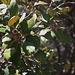 Die Erlenblättrige Eiche (Quercus alnifolia) gehört zur endemischen Flora Zyperns und kommt ausschliesslich im Gebirge Τρόοδος (Tróodos) vor.