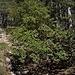 Der immergrüne, bis 5m hohe Östliche Erdbeerbaum (Arbutus andrachne) trifft man an einigen Stellen im Unterholz an des Südhängen des Gebirges Τρόοδος (Tróodos) an.