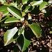 Blätter und kleine Blütenrispe des Östlichen Erdbeerbaumes (Arbutus andrachne).