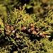 Früchte vom Stinkenden Wacholder (Juniperus foetidissima), einem Nadelbaum der in den höheren Lagen des Gebirges Τρόοδος (Tróodos) oft anzutreffen ist.