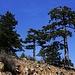 Das wunderschöne Gebirge Τρόοδος (Tróodos) in Zypern.<br /><br />Bäume einer Unterart der Schwarzkiefer (Pinus nigra ssp. pallasiana).
