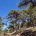 Schwarzkiefern. In der Sierra de Cazorla befindet sich der grösste Bestand von Spanien dieses Baumes