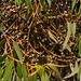 Unreife Früchte vom Eucalyptus tereticornis. Der Baum ist heimisch in Australien.