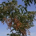 Blüten und Früchte an einem Zedrachbaum (Melia azedarach). Die Blüten duften schon von weitem wohlriechend. Die Pflanze stammt aus Süd- und Südostasien.