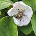 Biene besucht Quittenblüte