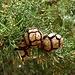 Im Bergwald des Selvili Tepes trifft man überall auf Bäume der Echten Zypresse (Cupressus sempervirens). Auf Deutsch übesetzt heisst Selvili Tepe denn auch passend Zypressenberg.