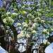 Auch alte Bäume stehen in der Blüte des Lebens