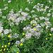 Schafgarben und Hahnenfuß - Blütenvielfalt auf Allgäuer Wiese