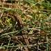 Auf den grasbedeckten, trockenen Sandböden der Rhinower Berge fühlen sich Eidechsen wohl.