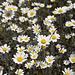 Blumenpracht in der Provence VI