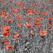Blumenpracht in der Provence VIII