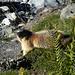 Marmotte en Vallée d'Ossoue