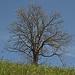 Baum unterhalb von Hapfig.