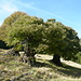 """drei uralte Kumpeln in Pön (..in der Gegend gibt es mehrere solche """"monumentale"""" Kastanienbäume)"""