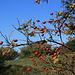 Hagebutte im Herbst