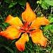 Ein Feuerwerk der Natur: Feuerlilie.