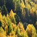 Lärchen in Herbstfarben