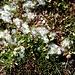 <b>Salice erbaceo (Salix herbacea).</b>