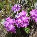 Unterhalb der Rossbodestafel begrüßen einen zahllose Blumen zurück in den Frühsommer - wie hier die Behaarte Primel (<i>Primula hirsuta</i> All.).