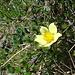 Zahlreiche Schwefel-Anemonen (<i>Pulsatilla alpina</i> subsp. <i>apiifolia</i>) säumen ebenfalls den Weg zur Rossbodestafel.