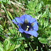 Breitblättriger Enzian (<i>Gentiana acaulis</i> L.), auch Kochscher Enzian (<i>Gentiana kochiana</i> Perr. et Song.) genannt.