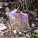 Soldanella alpina, Primulaceae.