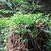 Bekannter Baumstrunk, nun im gesprossenen Grün.