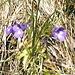 """Un bel fiore che, andando per monti e per valli, non mi sembra di aver incontrato prima: si tratta della Pinguicula vulgaris, altrimenti conosciuta come """"erba unta comune"""". È una pianta carnivora (insettivora)."""