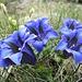 copiosa fioritura di genziane