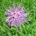 lila Schönheit - Flockenblume