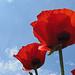 wunderschöne Rottöne bei den Mohnblüten