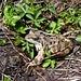 die feuchten Wiesen sind ein Paradies für das Grasfrosch-Weibchen (Braunfrösche)