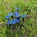 GENZIANA PRIMATICCIA (gentiana verna L. )